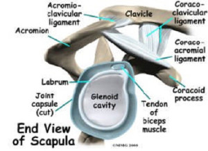 Scapula End View